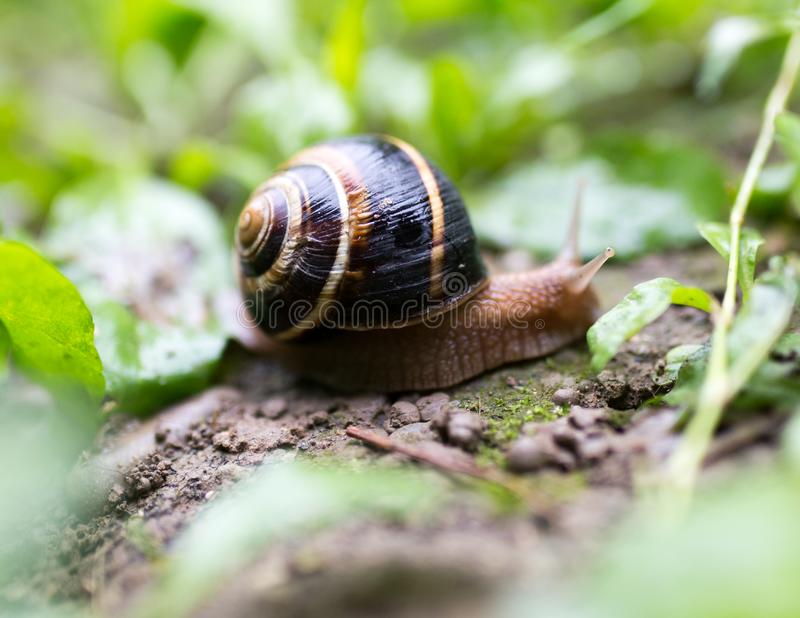 Snail on the ground in nature royalty free stock images