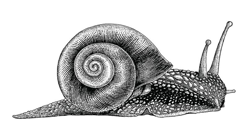 Snail hand drawing vintage style royalty free illustration
