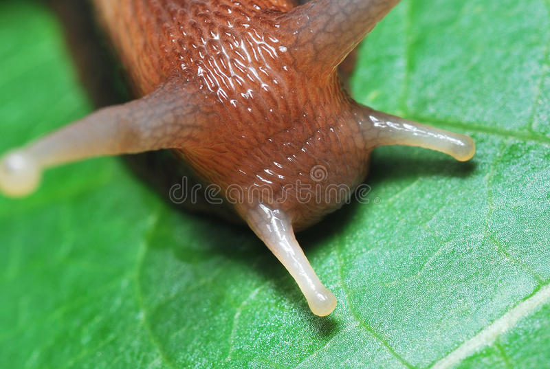 Snail Head. A macro photo taken on a snail head. Note the fine details of the head profile royalty free stock images