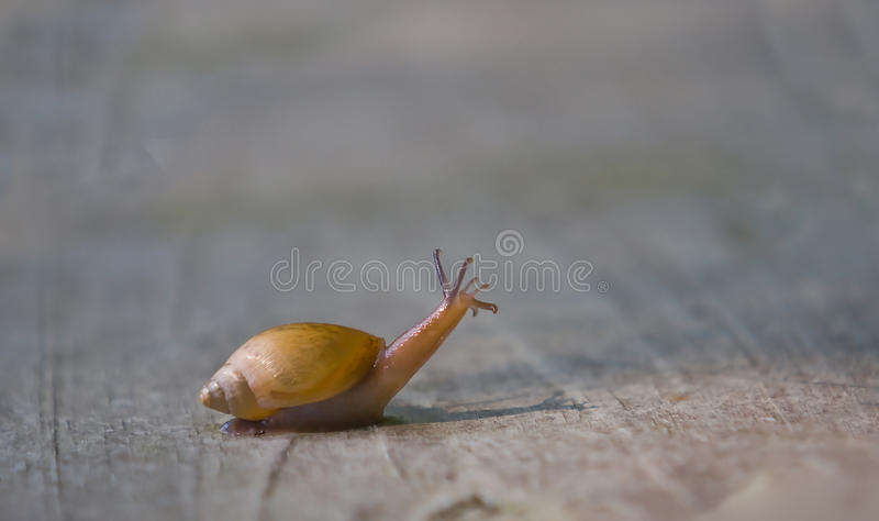 Download Snail with head up stock image. Image of bottom, steady - 10630115