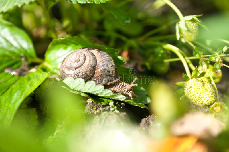 Snail (Helix pomatia) against strawberry leaf. After rain stock images