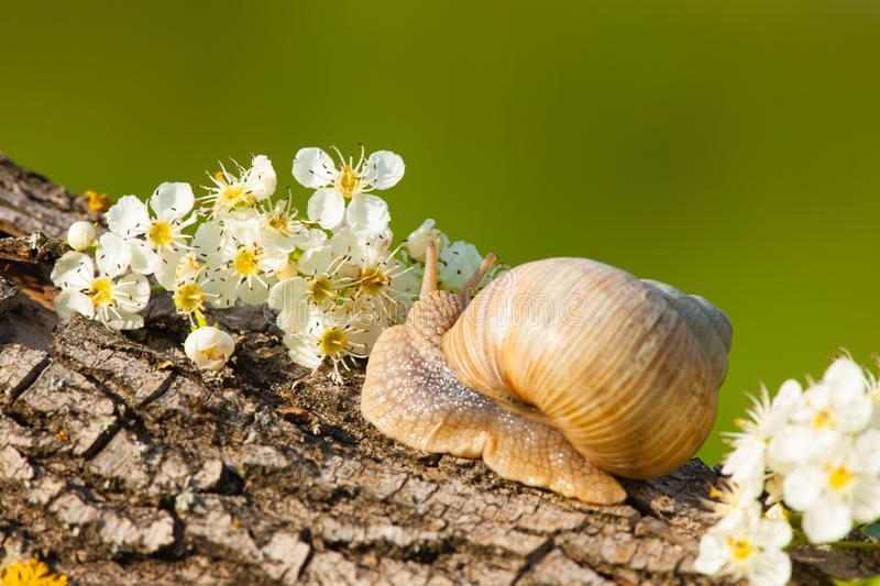 Snail between white flowers at sunset stock photography