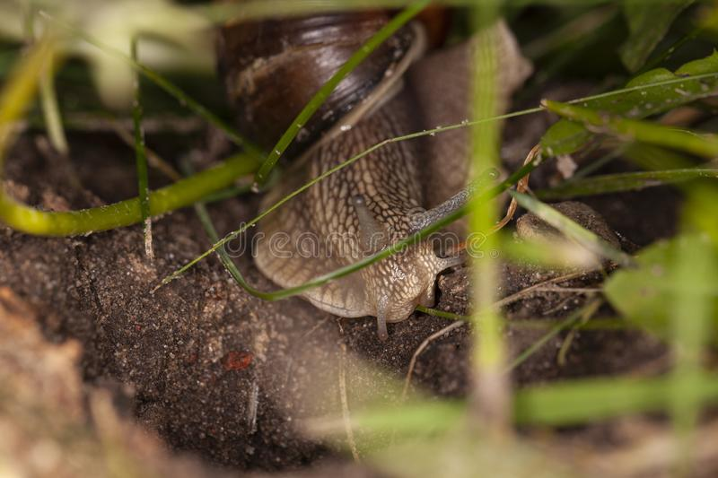 The snail hides in the thicket of grass stock photos
