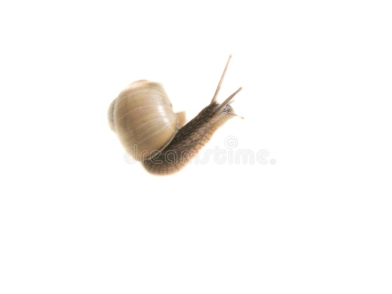 Snail isolated image on a white background.  royalty free stock photo