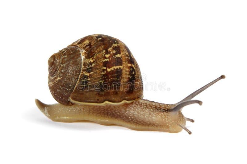Snail isolated on white stock photos