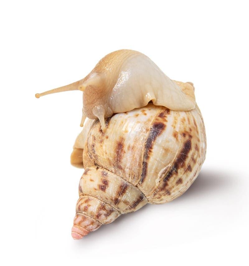 Snail isolated on white background stock image