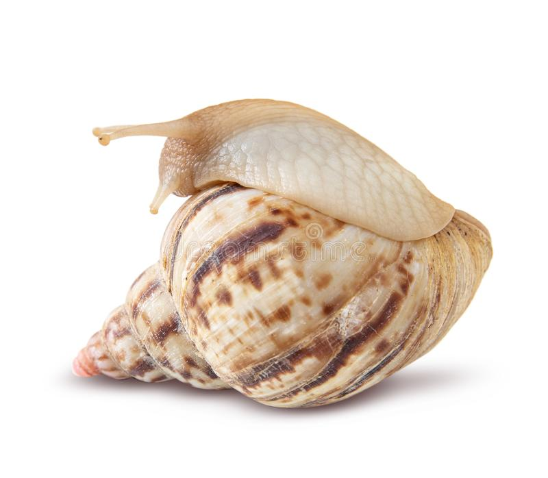 Snail isolated on white background stock photos