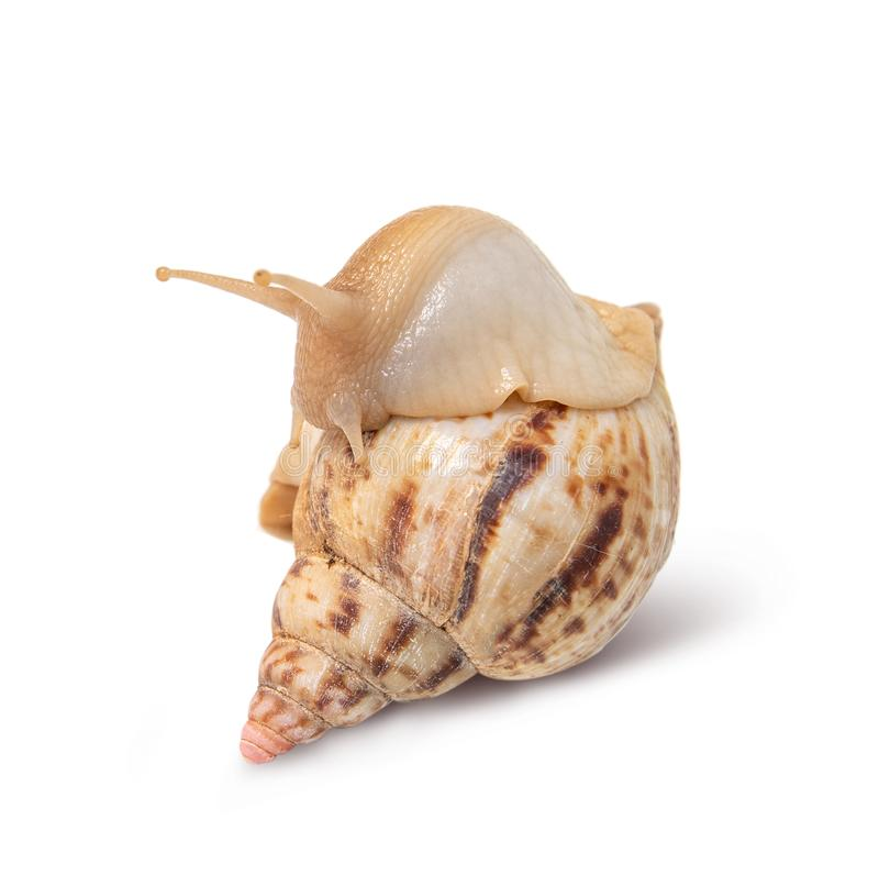 Snail isolated on white background royalty free stock image