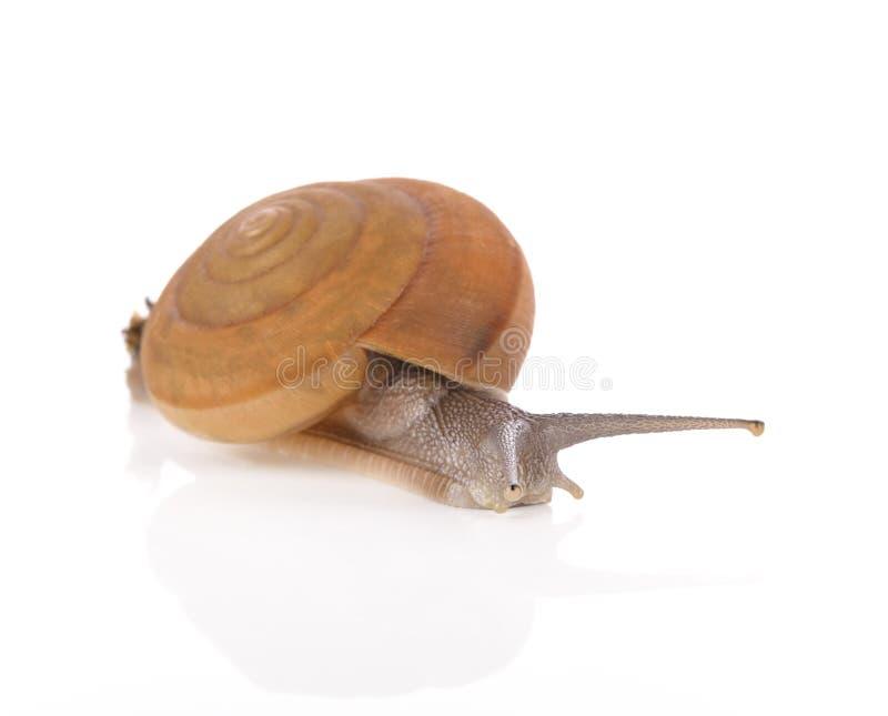 Snail isolated on white background. stock photo