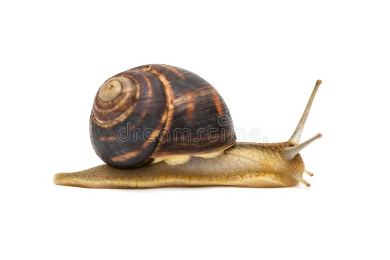 Snail isolated on white. Garden snail escapes. white background. Crawling snail isolated on a white background stock images