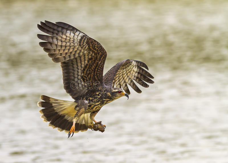 Snail Kite royalty free stock images