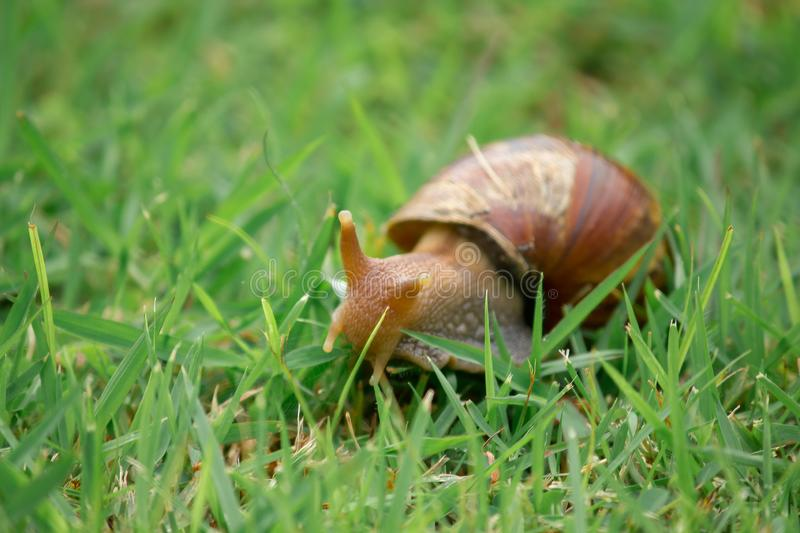 Snail on the lawn Move slowly. Classified as invertebrates Like to eat vegetables stock photos