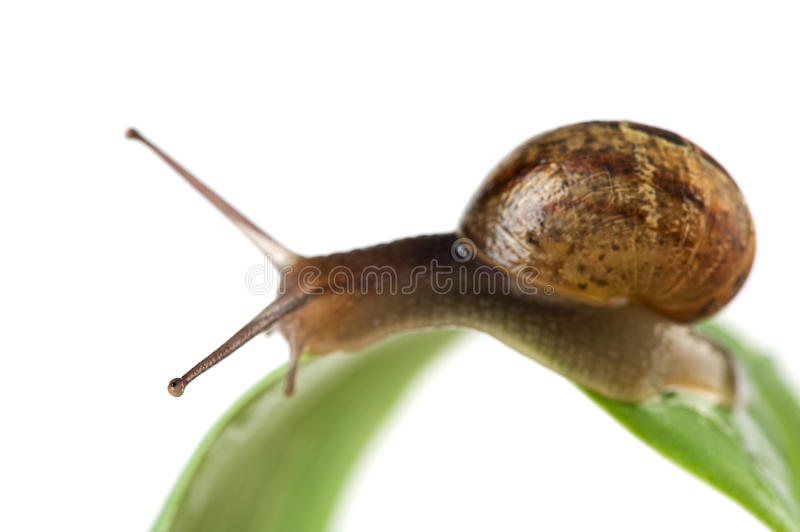 Download Snail on leaf stock photo. Image of garden, white, slow - 14235378