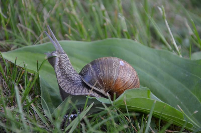 Snail on leaf in garden. Snail, close up, photo taken in garden. Helix pomatia, common names the Roman snail, Burgundy snail. The shell is creamy white to light stock photo