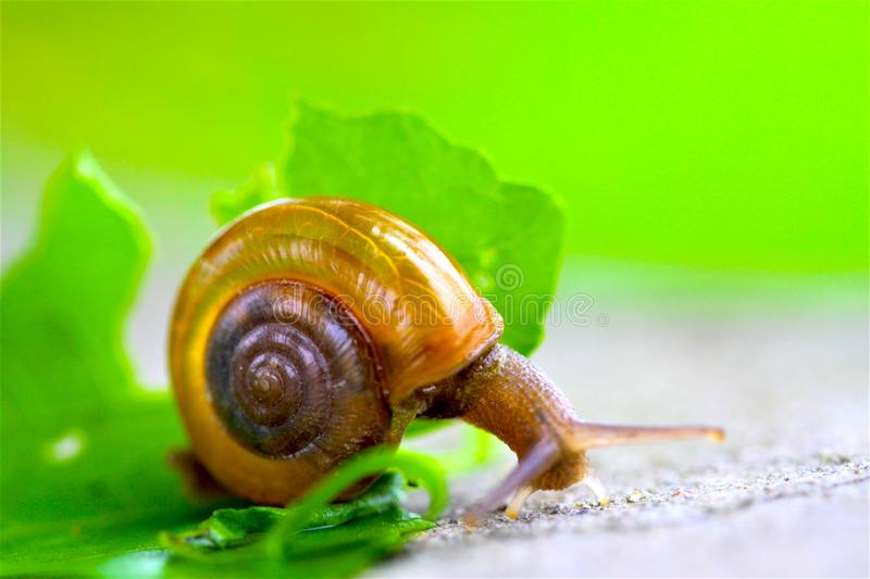 Snail on leaves in Garden royalty free stock images