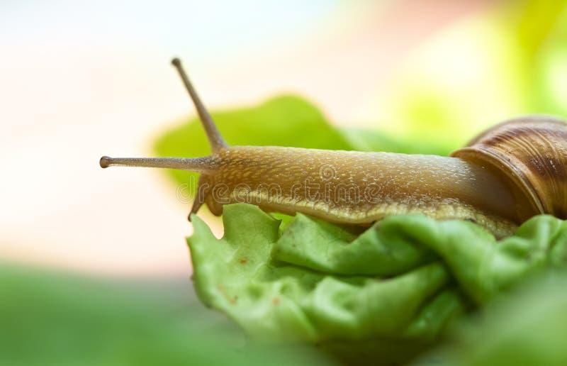 Snail On Lettuce Royalty Free Stock Photos
