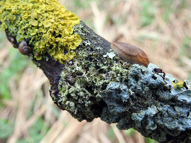 Snail and lichen on tree branch, Lithuania. Brown snail and moss on old tree branch in spring royalty free stock photo