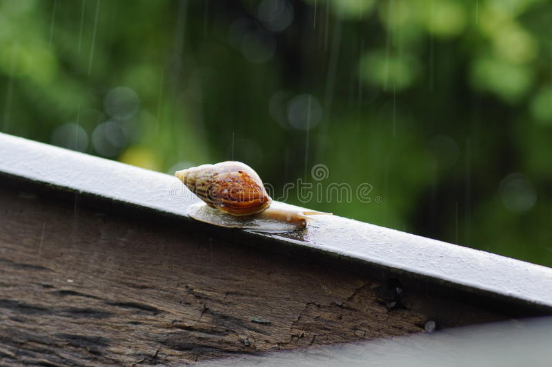 Snail on the loof. Snail on athe roof during rain stock image
