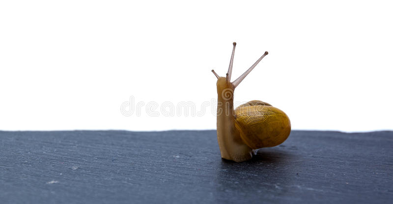 Snail looking for its path royalty free stock photo