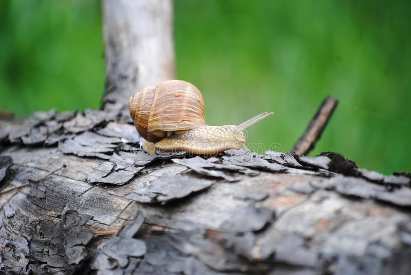 Snail that loves to walk in the morning. Snail crawling on a tree. Russia. Kolomna stock photos
