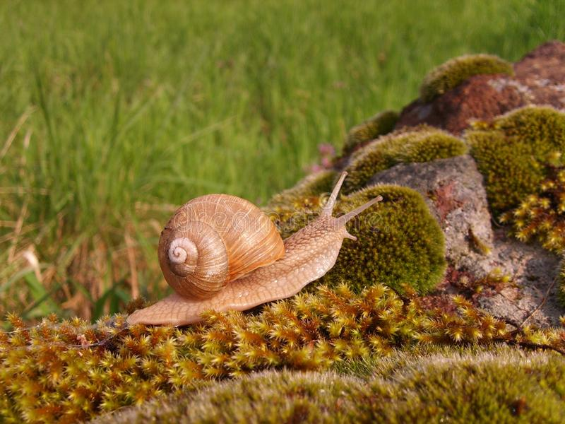 Snail on moss in garden in spring stock images