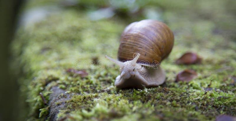 Snail on moss stock photo