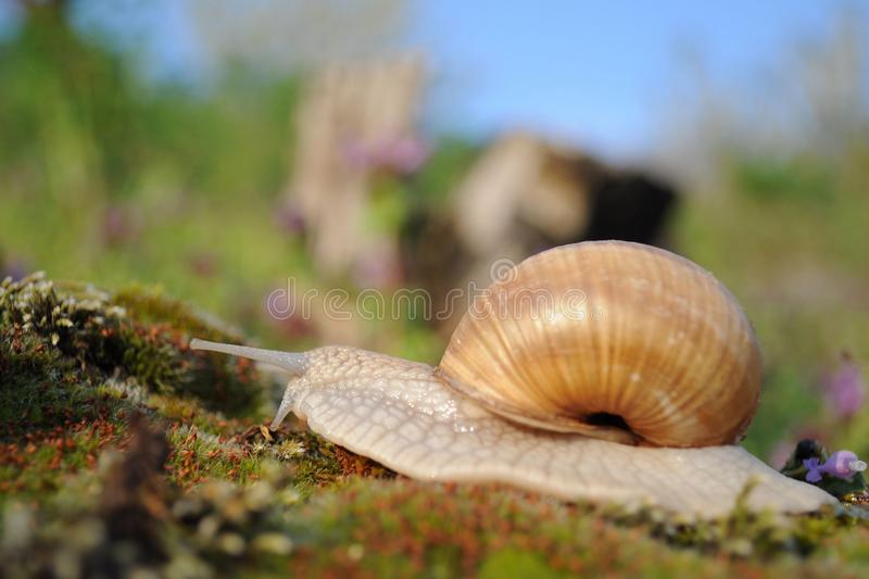 Snail on moss in garden in spring stock photography