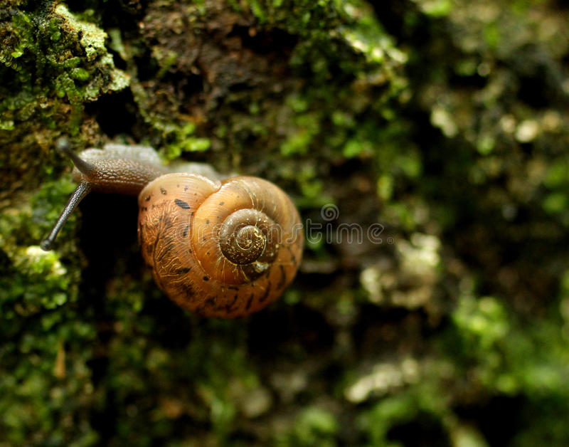 Snail on Moss. A snail slithers on the moss of a tree at Jones Gap State Park in South Carolina royalty free stock photos