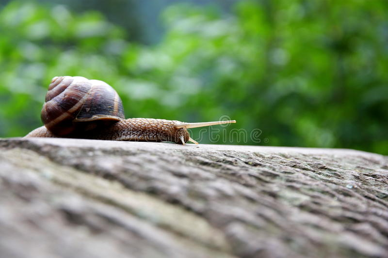 Snail Moves. Snail is moving on a stone. Green trees are in the background and snail`s eyes are looking around stock photos