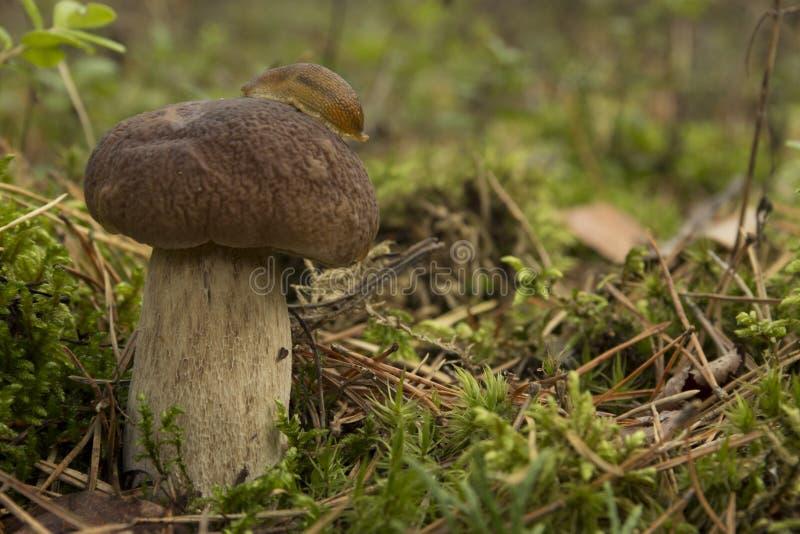 Download Snail on mushrooms stock image. Image of mushroomer, mushroom - 26596171