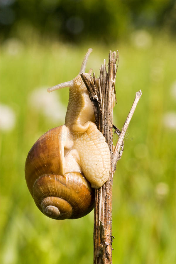 Download Snail in a nature stock image. Image of nature, natural - 14489151