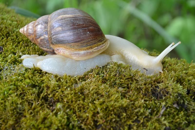 Achatina for a walk, Moss on a tree stock photo