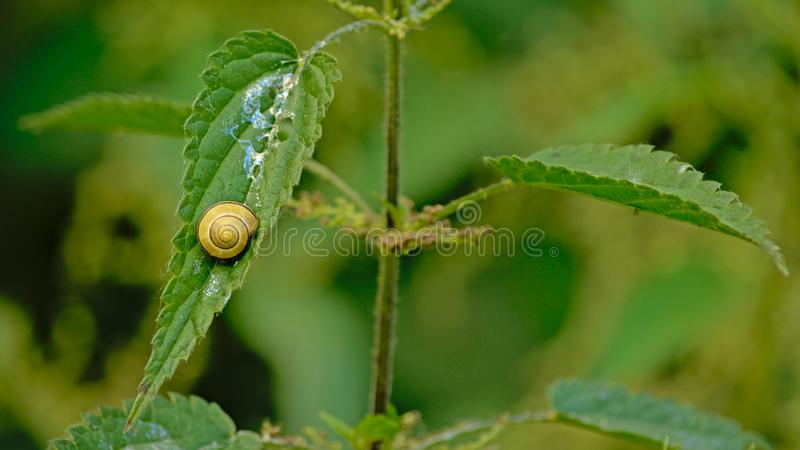 Snail on a nettle leaf - Gastropoda. Snail leaving a slime trail on a nettle leaf - selective focus stock photography