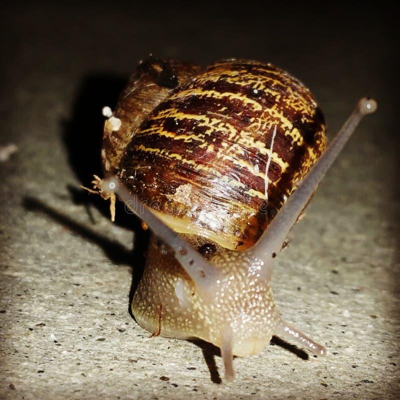 Snail at night royalty free stock photo