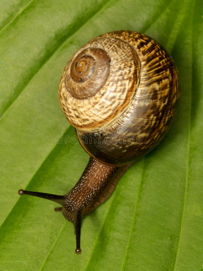 Free Snail On A Leaf Royalty Free Stock Photography - 6261217