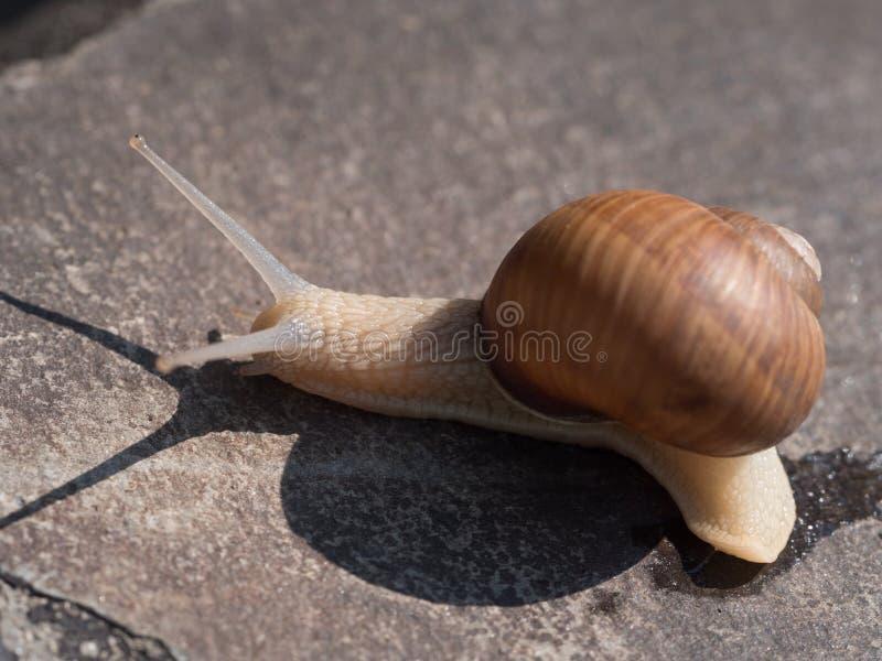 Snail på en rock arkivbilder