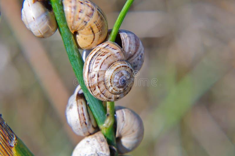 Snail På En Stjälk Av Gräs Arkivfoton