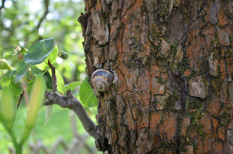 Snail on pear tree royalty free stock photography