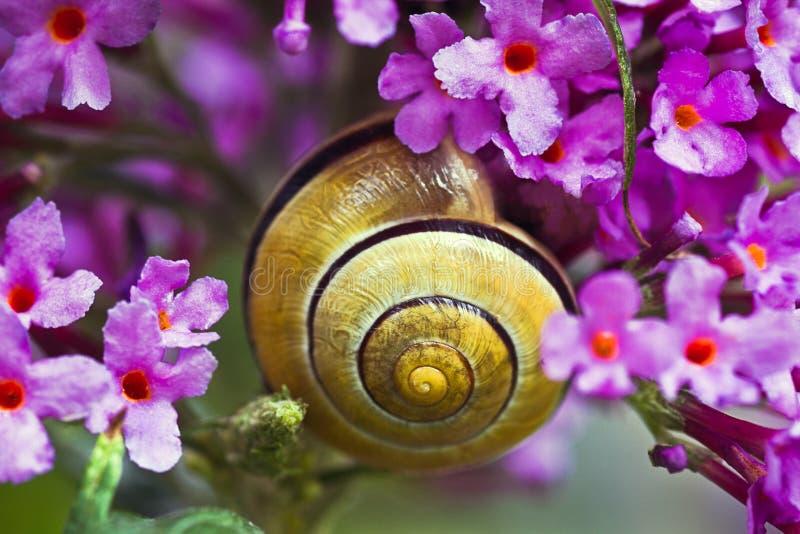 Snail on pink butterfly bush stock image