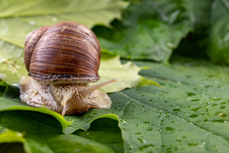 Snail of pomatia on maple leaves. Snail on a forest path in the forest. Season of the spring animal antenna background brown burgundy closeup edible escargot stock images
