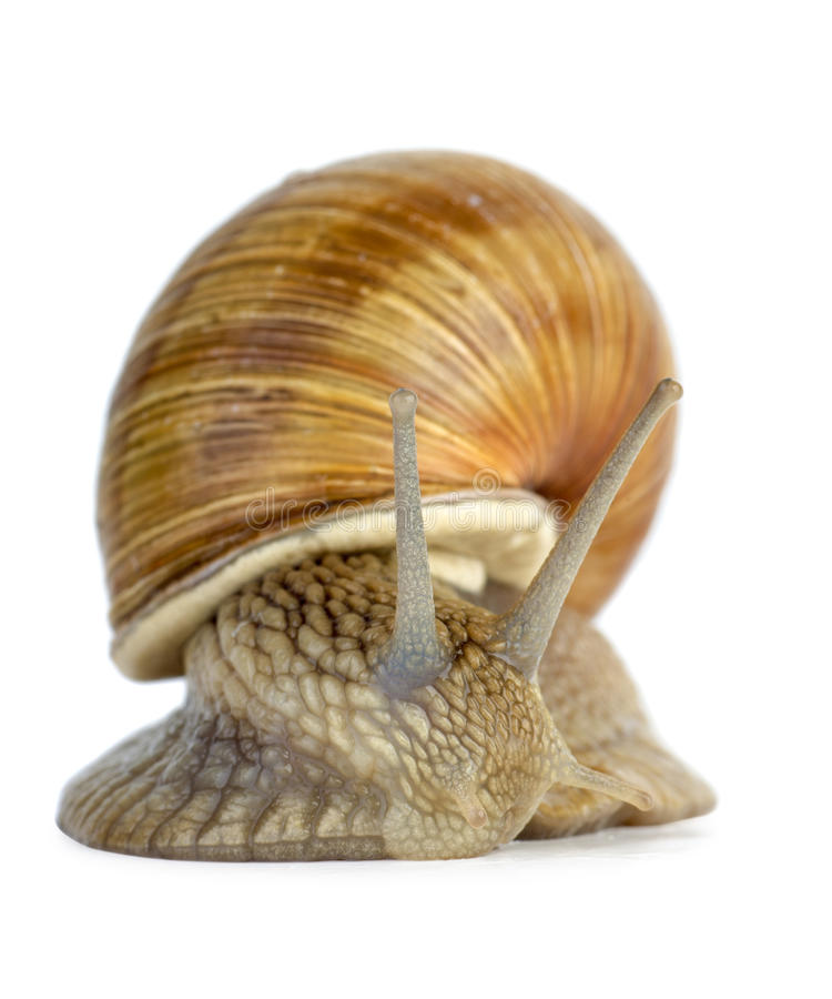 Download Snail Portrait Royalty Free Stock Image - Image: 26673856