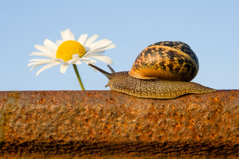 Snail on the rail and flower royalty free stock photos