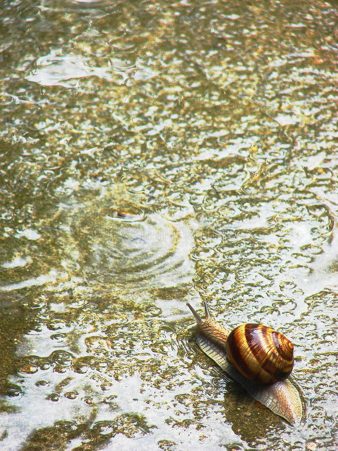 Snail on the road. Snail catched during walking out by road stock photos