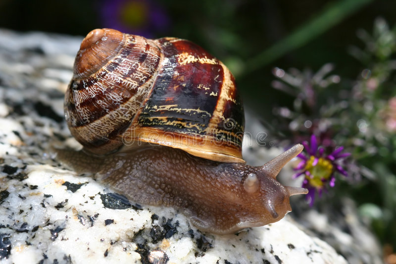 Snail on rock. Garden snail with pretty brown shell on granite rock stock photos