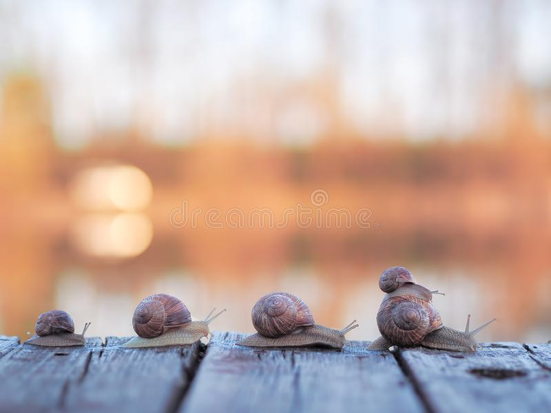 Snail`s family goes home at the sunset royalty free stock photos