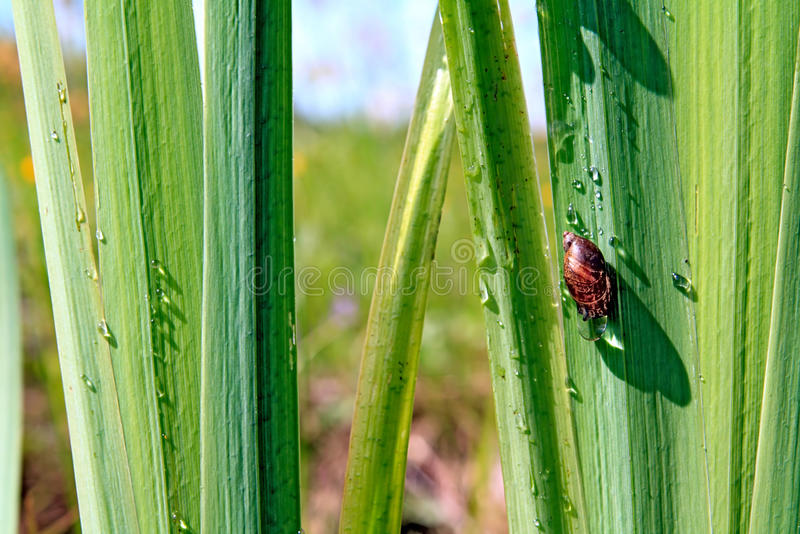 Download Snail On Sedge Royalty Free Stock Images - Image: 13495919