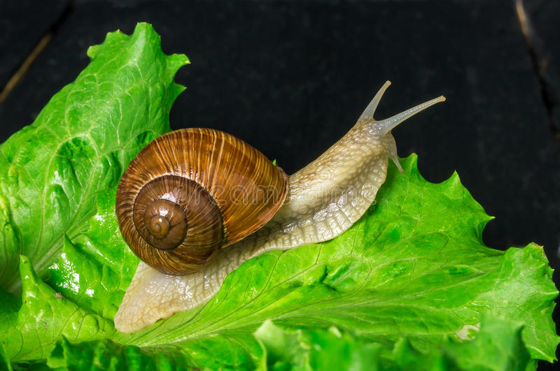 Snail on sheet. Garden snail on green leaf of salad with black background stock photography
