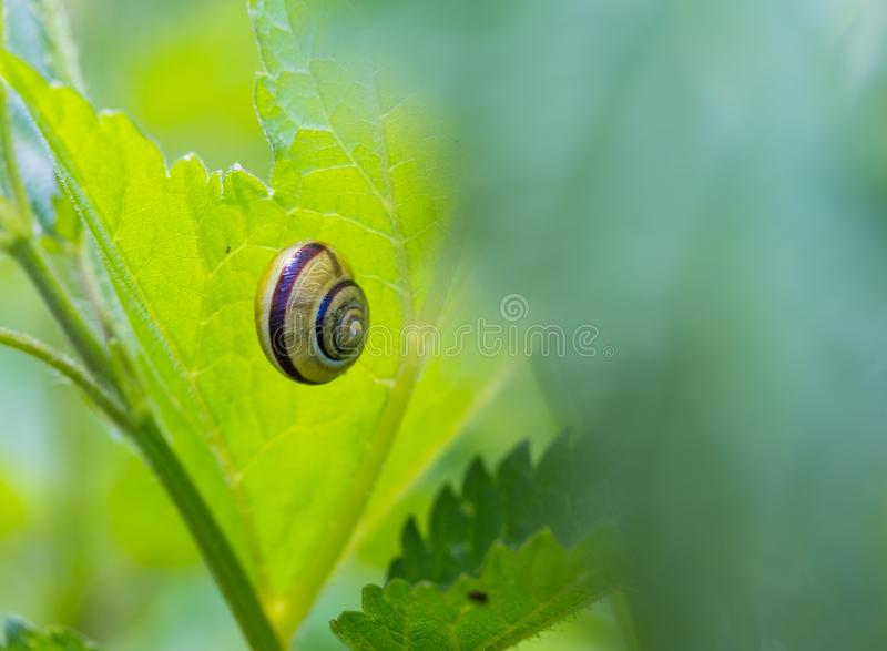 Snail shell on grass leaf. Macro. stock image