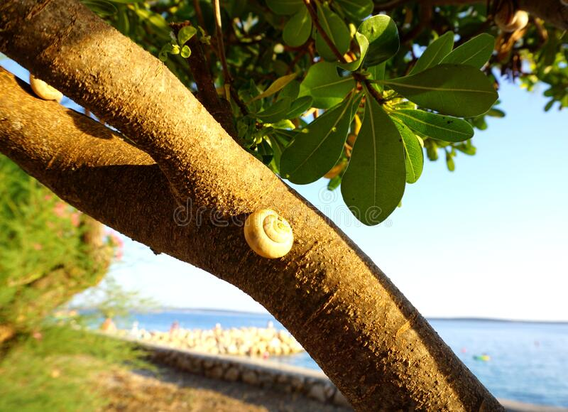 Snail shell on a coastal tree branch in foreground and blurred sea beach in the background. Nature, flora and fauna in the royalty free stock photo