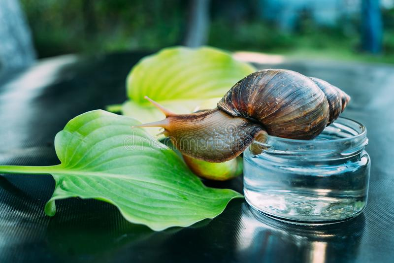 The snail sits on a glass jar. She looks at two green leaves and the apple near the jar. The snail sits on a glass jar. She looks at two green leaves and the stock image